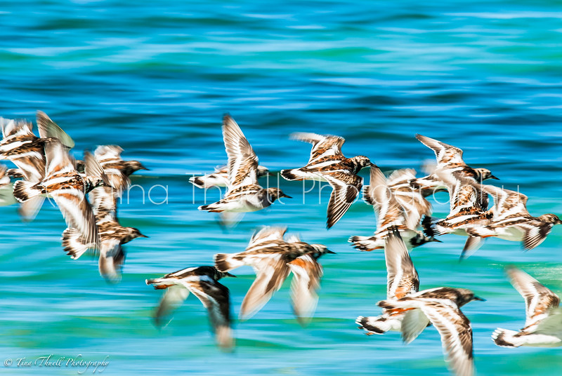 A  flock of Sanderlings  skimming just above the water along Long Haul Bay, NEVIS