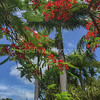 Royal Palms mixed with Poinciana trees at The Botanical Gardens in Nevis.