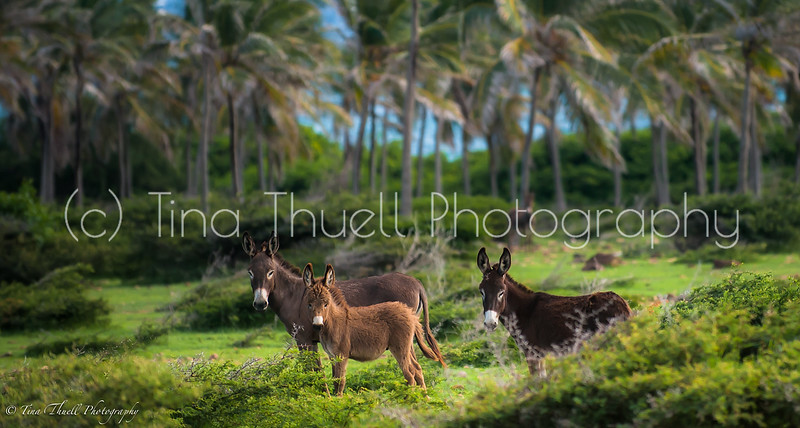 Wonderful wild donkeys roam all over Nevis.   Indian Castle area is sure bet to see a lot of them as it is well off the main road and donkeys live peacefully here.