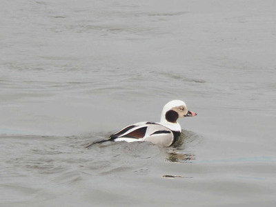 Long-tailed Duck, adult male