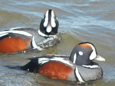male Harlequin Ducks