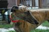 a classic greyhound pose