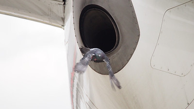 EnerJet has a couple of 737-700's that seem to spend quite a bit of time on the ramp - at least a local pigeon has found a use for one of them. Caught it creating a nest in the exhaust of Fin #701