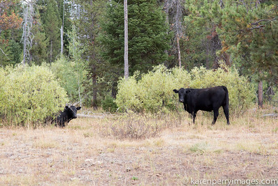 Effects of cattle grazing on public lands - Squirrel Meadows, Targhee National Forest, Wyoming