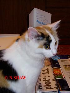 TORTOISESHELL CAT 0027
