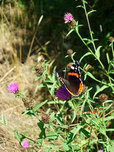 RED ADMIRAL BUTTERFLY 0003