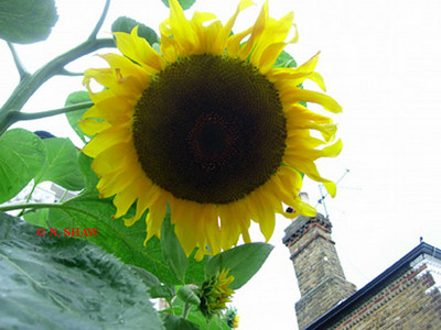 SUNFLOWER 0004