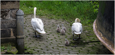 OUSEBURN SWANS & CYGNETS TODDLE/WADDLE UP THE SLIPWAY