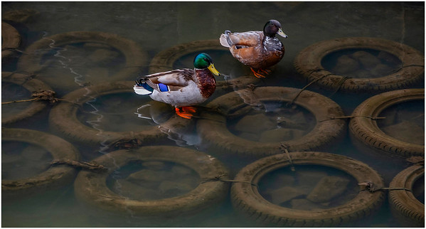 DUCKS REST ON TYRES ON THE OUSEBURN
