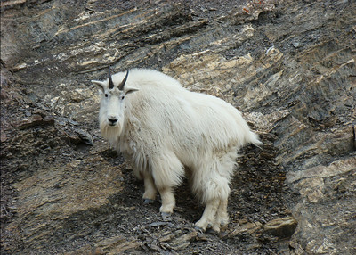 MOUNTAIN GOAT - JASPER