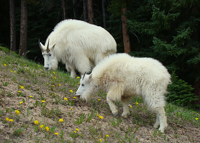 MOUNTAIN GOATS - JASPER