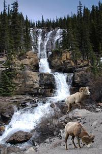 BIGHORN SHEEP - JASPER