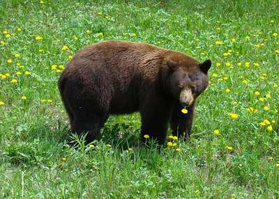 BLACK BEAR - BRITISH COLUMBIA