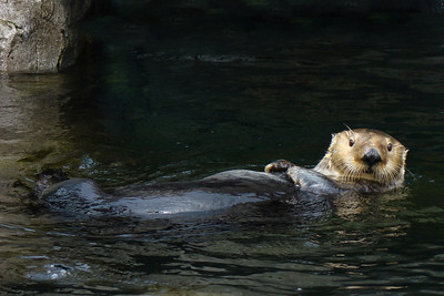 SEA OTTER - BRITISH COLUMBIA