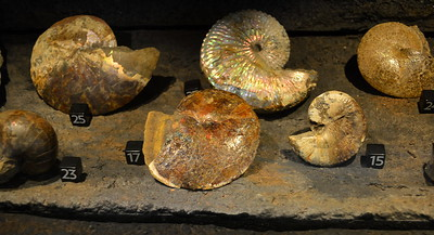 Fossilized sea shells @ ND Heritage Center - August 1, 2017