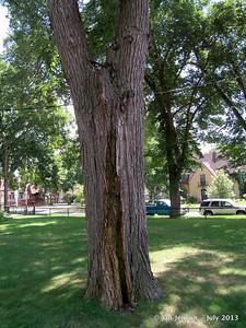 Old Elm tree with crack repair.