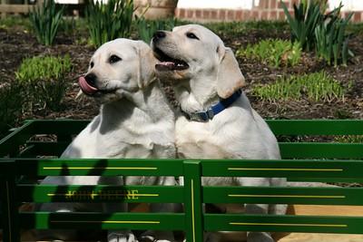 John Deere pups