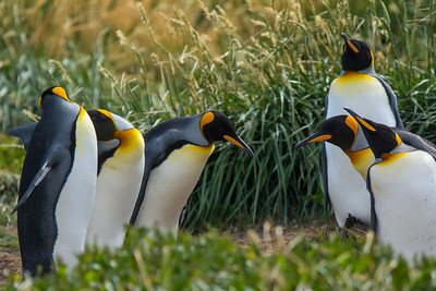 King Penguins,  Tierra del Fuego, Chile