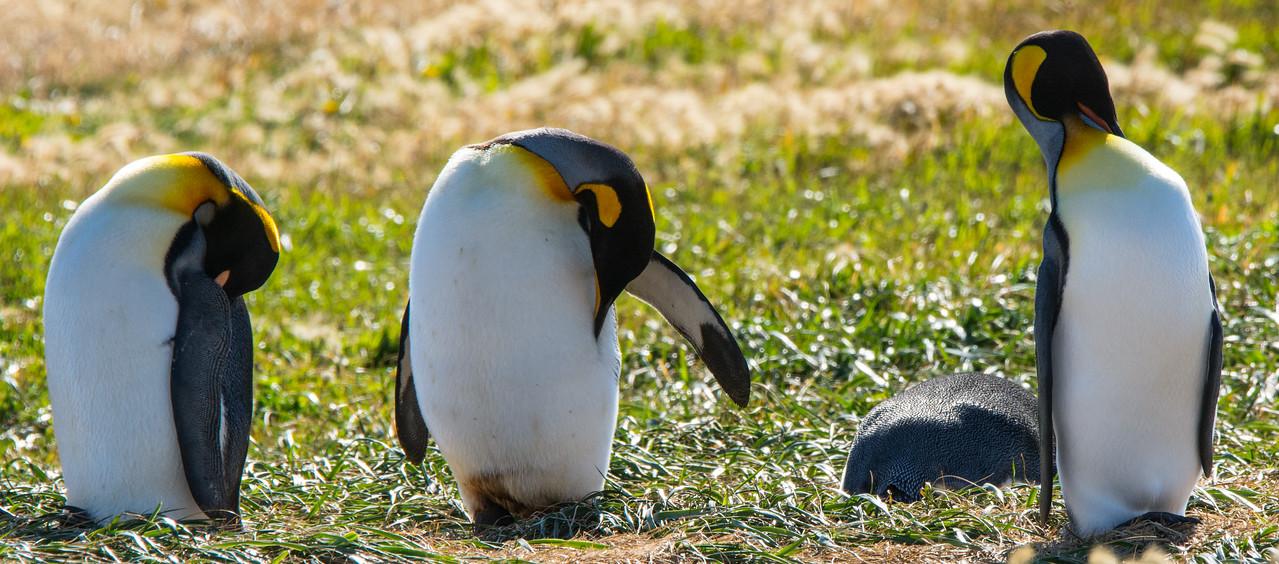 King Penguins,  Tierra del Fuego, Chile