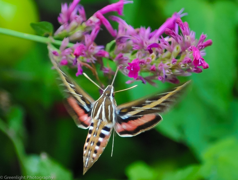 Sphinx moth in Colorado.