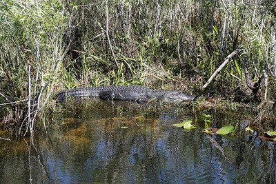 Gator on the shore (photo by Dave)