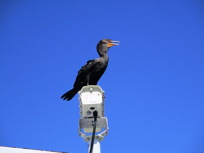 Another comorant, this time in the Everglades