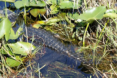 Baby gator after other people were throwing rocks at it!! Ugh.  (photo by Dave)