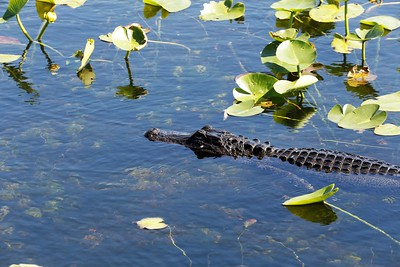 Gator on the move (photo by Dave)