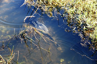 Anhinga fishing (photo by Dave)