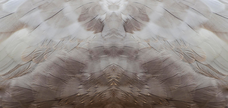 Double Goose 59x35 Birch
