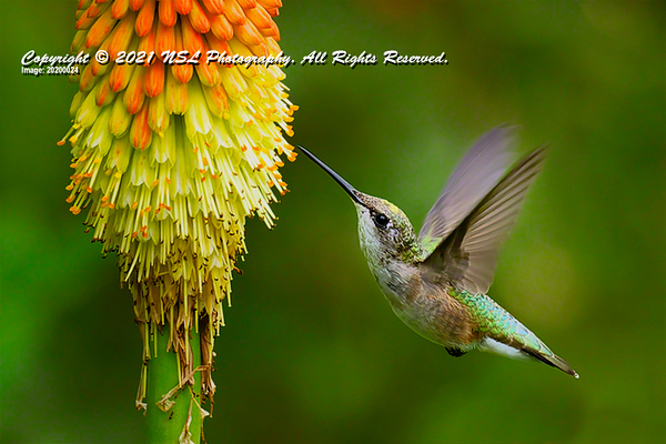 Ruby-throated Hummingbird flying among Red Hot Poker plants at the Chanticleer Gardens