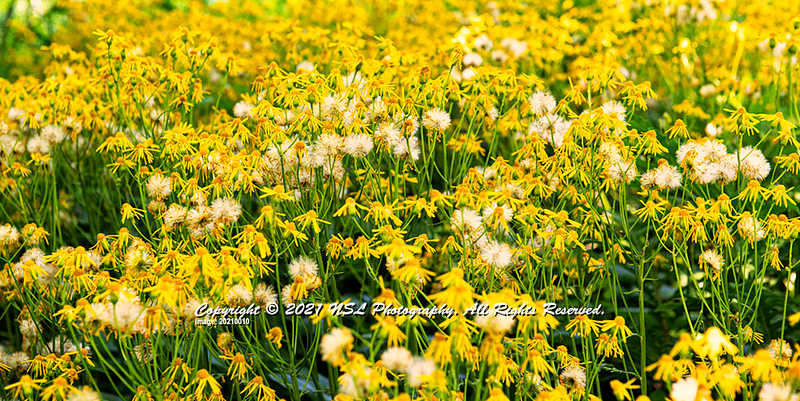Longwood Gardens: Common Ragwort