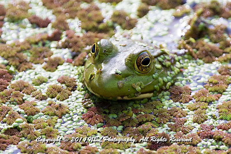 Northern green frog in the impoundment pond at the John Heinz National Wildlife Refuge at Tinicum