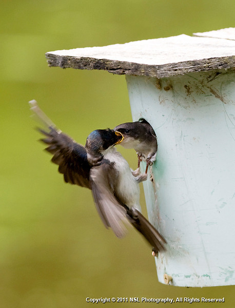 Tree Swallow feeding young at John Heinz National Wildlife Refuge at Tinicum