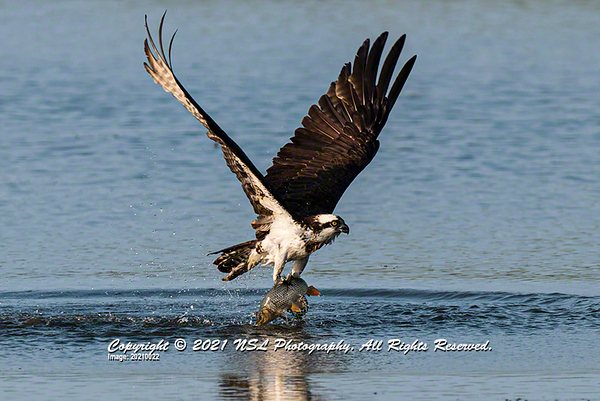 Osprey adult (carolinensis) with Common Carp in its talons at the John Heinz National Wildlife Refuge at Tinicum