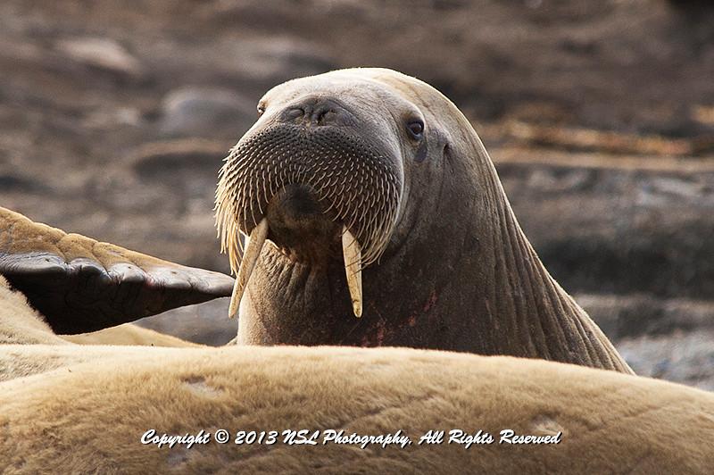 Adult female walrus on Lagoya, Svalbard
