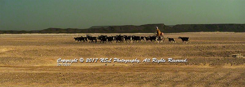 Herding goats in the Sahara Desert south of the Village of Tisserdmine, Morocco.