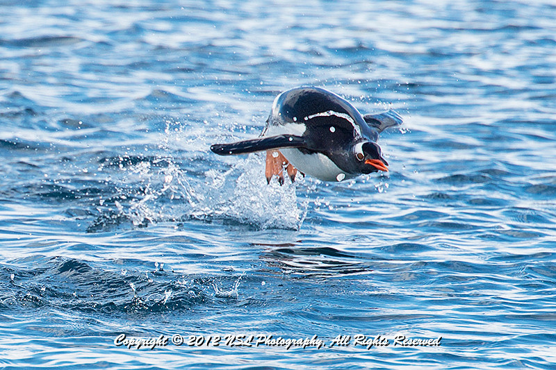 Gentoo Penguin flying through the air while swimming in Cierva Cove, located at the far northern end of Hughes Bay, at the northern end of the Gerlache Strait, Antarctica.