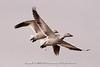 Snow Geese at Bombay Hook National Wildlife Refuge
