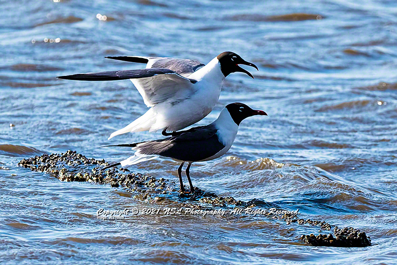 Two adult, breeding Laughing Gulls with the male mounted on the back of the female in mating ritual at Heislerville Fish and Wildlife Management Area
