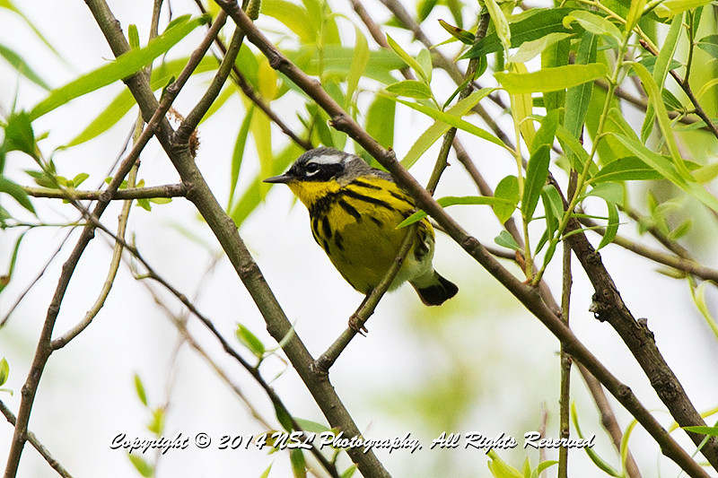 Adult male, breeding, Magnolia Warbler at the John Heinz National Wildlife Refuge at Tinicum