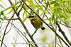 Adult male, breeding, Magnolia Warbler at the John Heinz National Wildlife Refuge at Tinicum