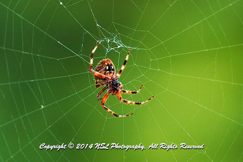 Adult female neoscona crucifera (Spotted Orbweaver) spider at the Brandywine Creek State Park