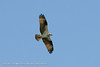 Osprey in flight, taken from Cape May Harbor Salt Marsh Skimmer