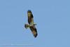 Osprey in flight, taken from Cape May Harbor Salt Marsh Skimmer