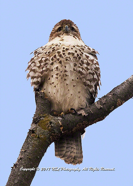 Juvenile red-tailed hawk at the John Heinz National Wildlife Refuge at Tinicum