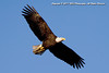 Bald Eagle at Conowingo Dam