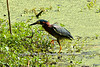 Adult Green Heron having a Northern Watersnake for lunch at the John Heinz National Wildlife Refuge at Tinicum