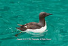 A Brünnich's guillemot, a large auk swimming near the Alkefjellet cliffs, Svalbard, where thousands of them breed.