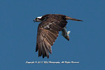 Adult Osprey with large fish in talons in the Heislerville Fish and Wildlife Management Area